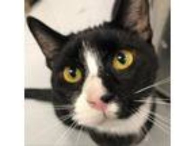 Adopt Goose a All Black Domestic Shorthair cat in Carroll, IA (25891342)