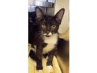 Adopt Philip a All Black Domestic Shorthair / Domestic Shorthair / Mixed cat in