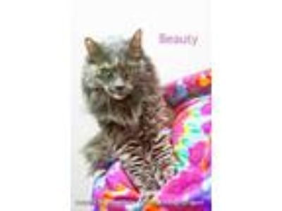 Adopt Beauty a Gray or Blue Domestic Longhair / Domestic Shorthair / Mixed cat