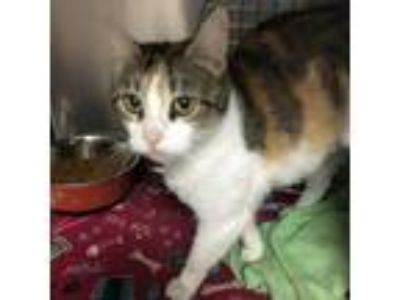 Adopt Amber a Brown or Chocolate Domestic Shorthair cat in Roanoke