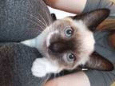 Adopt Chewbacca a Brown or Chocolate Siamese (short coat) cat in Seville