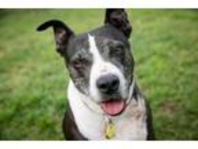 Adopt BABY a Black - with White American Pit Bull Terrier / Mixed dog in Austin