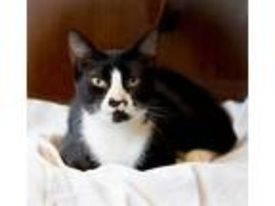 Adopt Turtle a Domestic Shorthair / Mixed cat in Charlottesville, VA (25549255)