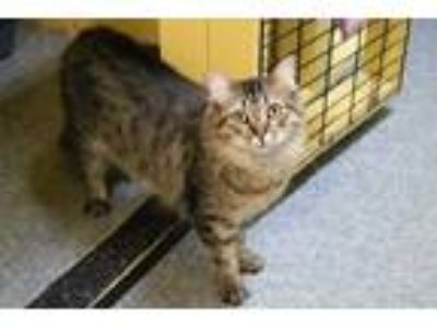 Adopt Fuzzy a Gray, Blue or Silver Tabby Domestic Mediumhair (medium coat) cat