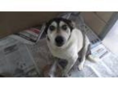 Adopt Jack a Rat Terrier / Mixed dog in Homer Glen, IL (25511473)