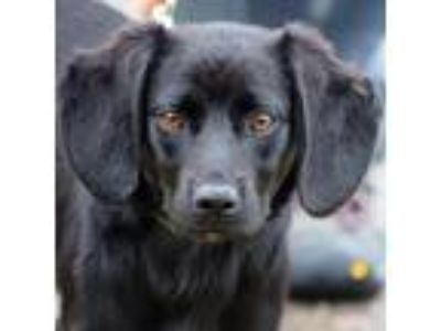 Adopt Becky a Black - with White Beagle / Cocker Spaniel / Mixed dog in Huntley