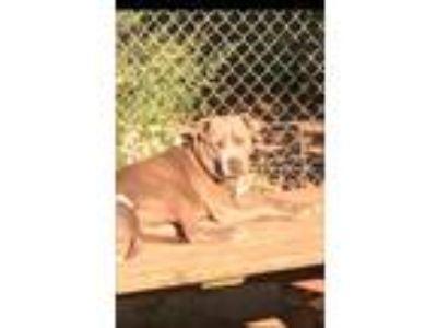 Adopt Gypsy II a Pit Bull Terrier