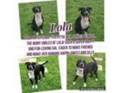 Adopt Lola a Black American Pit Bull Terrier / Mixed dog in Grapevine