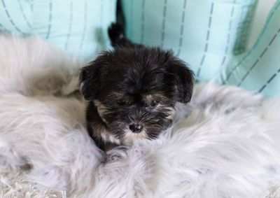 Amy the Morkie