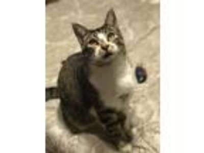 Adopt Katalie a Brown Tabby Domestic Shorthair / Mixed cat in Abbeville