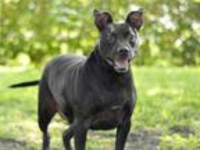 Adopt AUGGIE DOGGY a Black - with White American Pit Bull Terrier / Mixed dog in