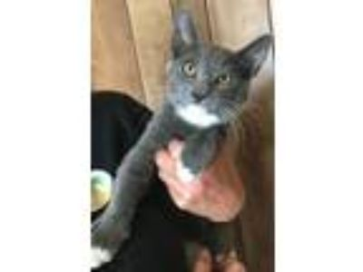 Adopt Indy a Russian Blue / Mixed (short coat) cat in Menifee, CA (22337679)