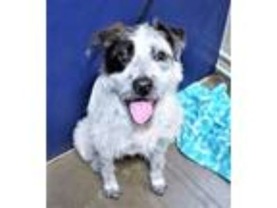 Adopt R231522/cookie a Terrier