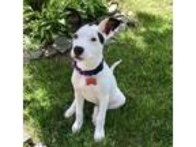 Adopt Affectionate Girly a Boxer / Hound (Unknown Type) / Mixed dog in Potomac
