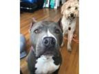 Adopt Xena a American Staffordshire Terrier / Mixed dog in Whitestone