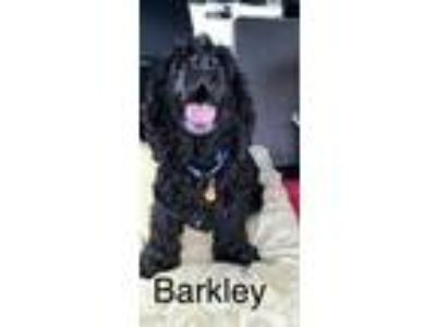 Adopt Barkley a Cocker Spaniel