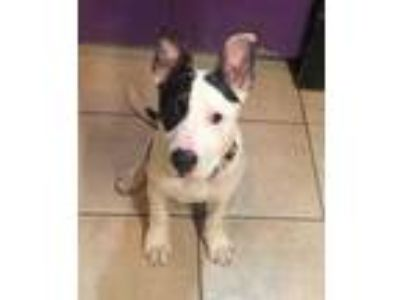 Adopt Darwin a White Bull Terrier / American Pit Bull Terrier / Mixed dog in