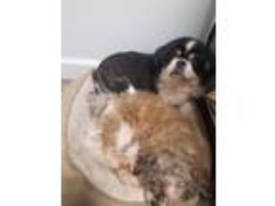Adopt Sierra and Sara Bonded Pair a Black - with Tan, Yellow or Fawn Pekingese /