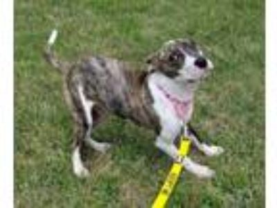 Adopt Rosalind a Brindle American Pit Bull Terrier / Mixed dog in Harrisonburg