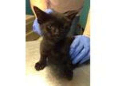 Adopt Rollins a All Black Domestic Shorthair / Domestic Shorthair / Mixed cat in