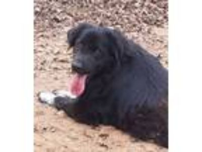 Adopt Bella Blue a Border Collie, Labrador Retriever