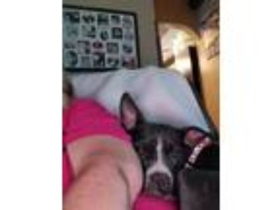 Adopt May a Boston Terrier, Boxer
