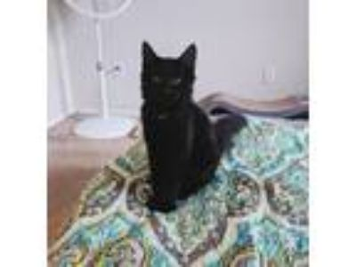 Adopt Emmylou a Black (Mostly) Domestic Mediumhair / Mixed cat in Antioch