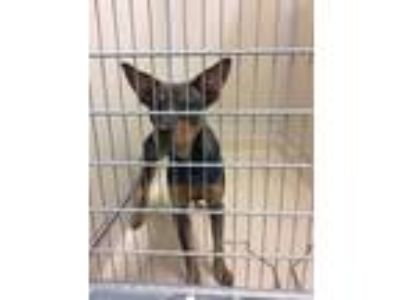 Adopt Sassy a Brown/Chocolate Shepherd (Unknown Type) / Mixed dog in Hamilton