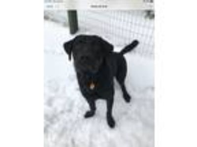 Adopt Jax a Black Labrador Retriever dog in Stormville, NY (25254183)
