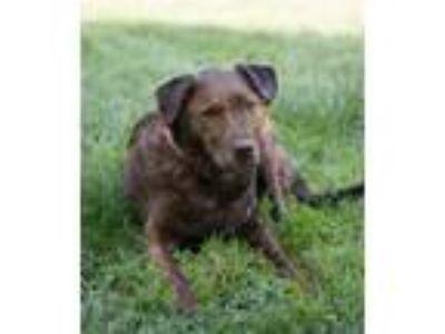 Adopt Naomi a Labrador Retriever / Dutch Shepherd / Mixed dog in