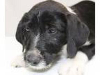 Adopt Hustler a Black - with White Labrador Retriever / Collie / Mixed dog in