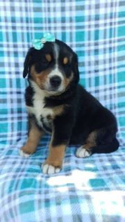 Greater Swiss Mountain Dog PUPPY FOR SALE ADN-93384 - AKC Greater Swiss Mountain Dog Puppy