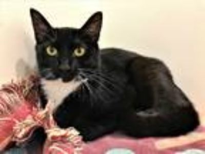 Adopt Minnie a Domestic Shorthair / Mixed cat in Santa Rosa, CA (25363703)