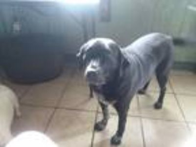 Adopt Bella a Black - with White Labrador Retriever dog in Brazoria