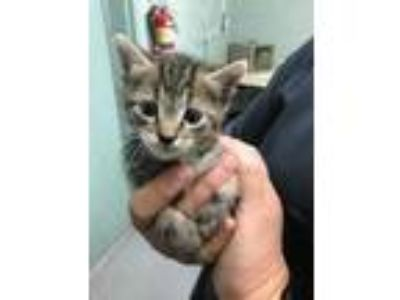 Adopt kitten2 a All Black Domestic Shorthair / Domestic Shorthair / Mixed cat in