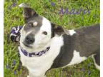 Adopt Mavis a White - with Gray or Silver Border Collie / Mixed dog in