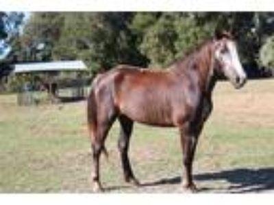 Adopt #767 a Chestnut/Sorrel Morgan / Mixed horse in Ocala, FL (23953219)