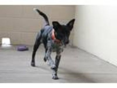 Adopt Connie a Black - with White Australian Cattle Dog / Mixed dog in McKinney