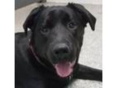 Adopt Wobbles a Rottweiler, Mixed Breed
