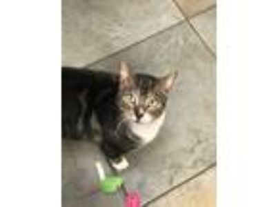 Adopt Nicholas a Spotted Tabby/Leopard Spotted American Shorthair (short coat)