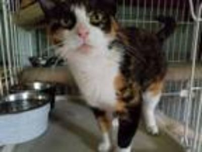 Adopt Sophia a Calico or Dilute Calico Domestic Shorthair (short coat) cat in