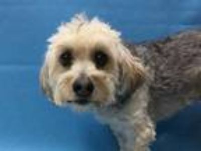 Adopt Penny a Gray/Blue/Silver/Salt & Pepper Poodle (Miniature) / Terrier