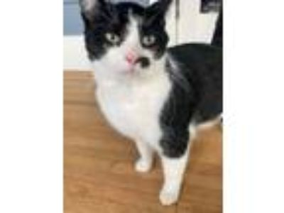 Adopt Cersei a Domestic Short Hair