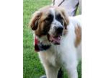 Adopt Pup a Great Pyrenees