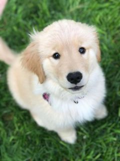 AKC registered Healthy Golden Retriever puppies available
