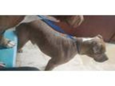 Adopt Coco a Brown/Chocolate - with White American Pit Bull Terrier /