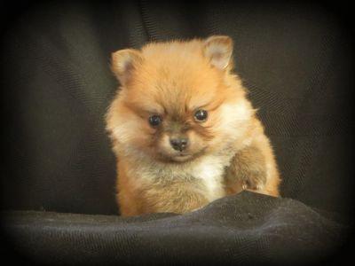 Pomeranian PUPPY FOR SALE ADN-52070 - Darling Pomeranian Puppies  5 wks old
