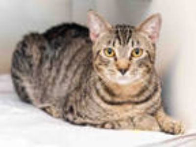 Adopt TIGIE a Brown Tabby Domestic Shorthair / Mixed (short coat) cat in Doral