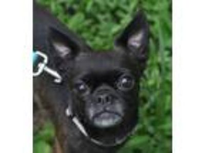 Adopt Suki a Pug, Boston Terrier