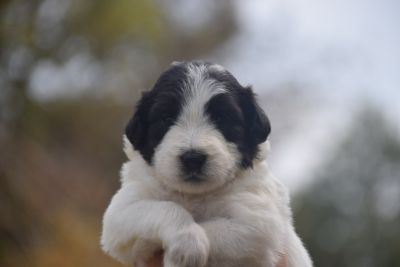 Pyredoodle PUPPY FOR SALE ADN-92733 - F1 Pyredoodles